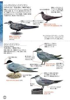 ハシグロクロハラアジサシ 野鳥 ...