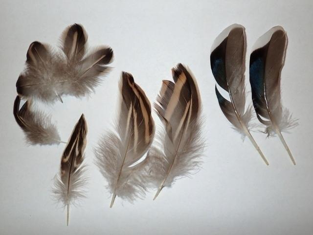 マガモの羽