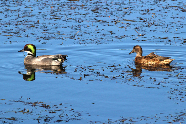 Falcated ducks02