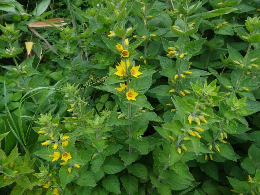 利尻島の花